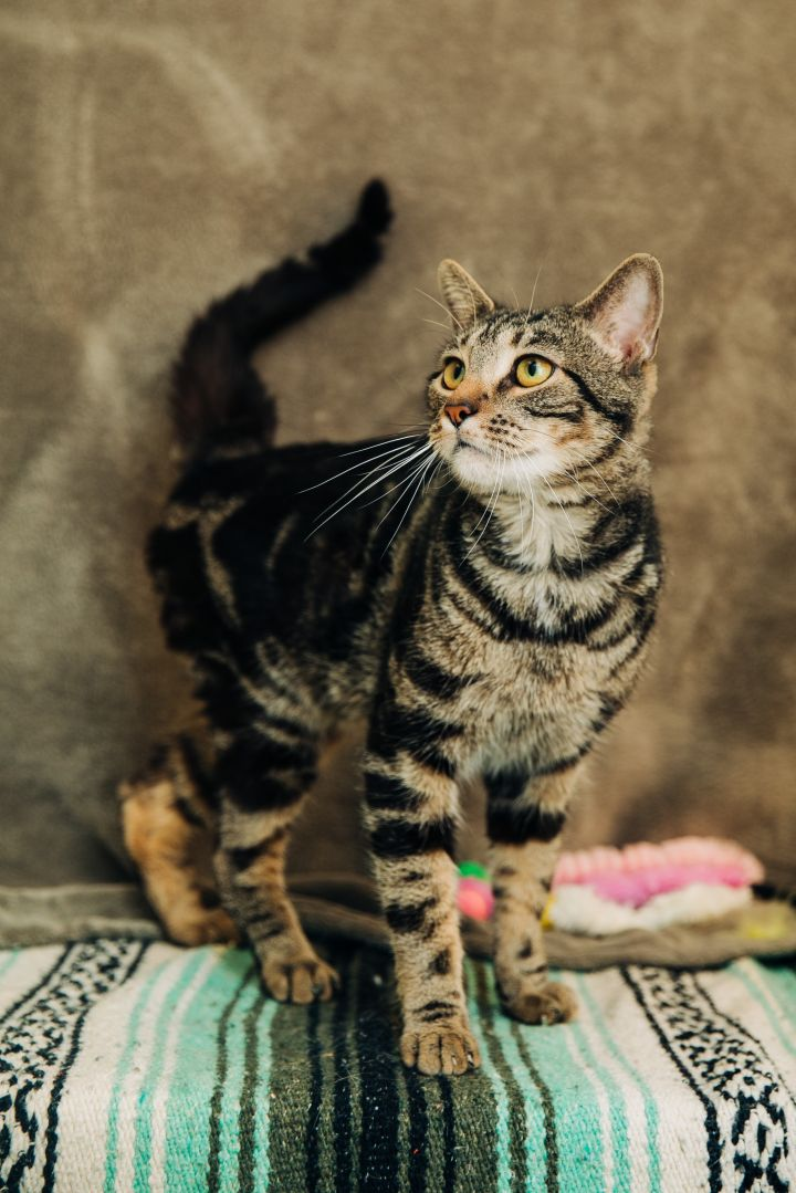 Slinky, an adopted American Shorthair in Benton Harbor, MI