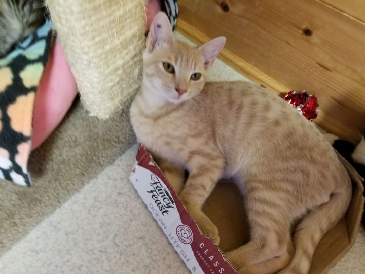 Bo, an adopted Tabby & Domestic Short Hair Mix in Hampstead, NC_image-3