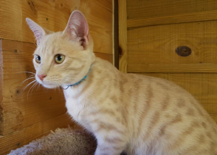 Bo, an adopted Tabby & Domestic Short Hair Mix in Waxhaw, NC