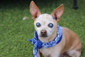 Peanut is a really sweet boy and in good shape for his advanced age He was found as a stray