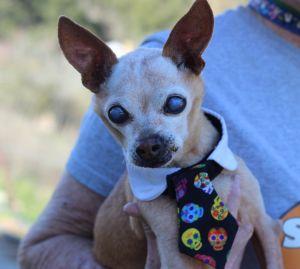 Peanut2 Chihuahua Dog