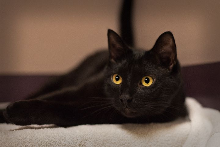 Morton, an adopted Domestic Short Hair in Harrisburg, PA