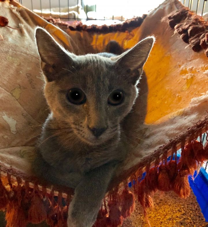 Stan aka Stanley, an adoptable Russian Blue Mix in Mission Viejo, CA