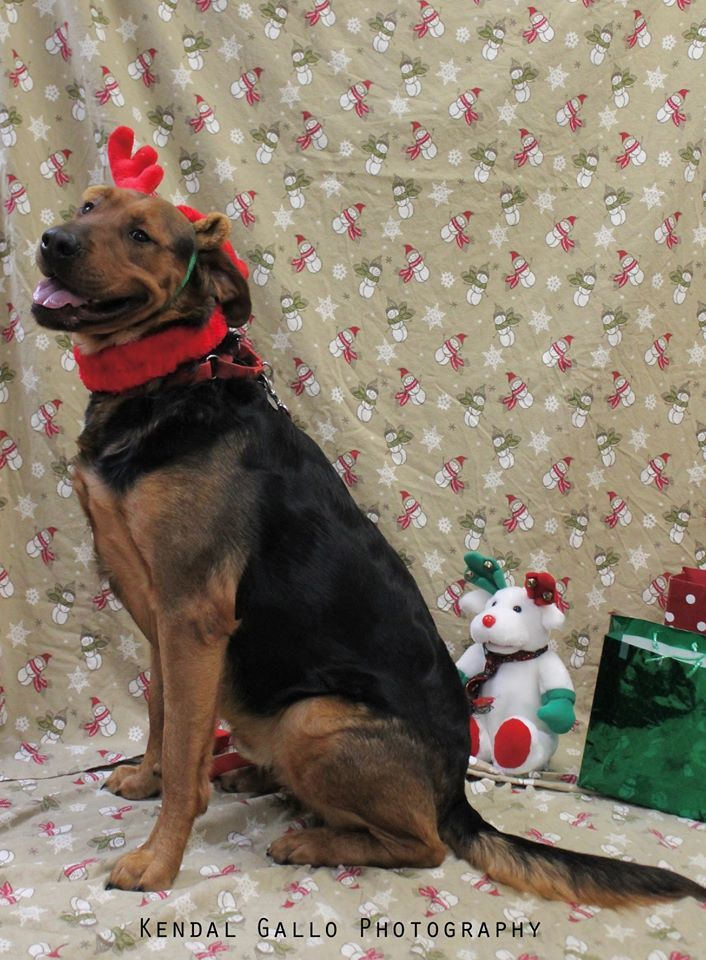 Buddy, an adoptable Rottweiler & Golden Retriever Mix in Saranac Lake, NY