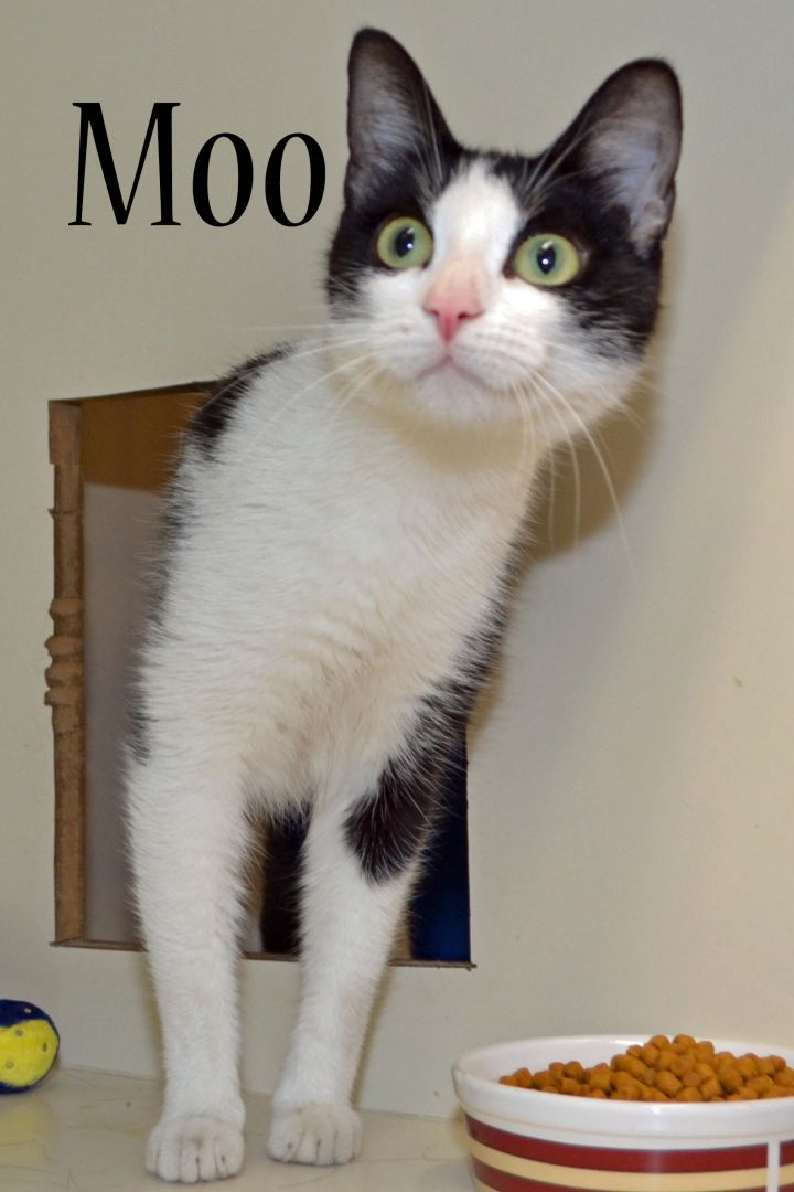 Moo, an adopted Domestic Short Hair in North Saint Paul, MN
