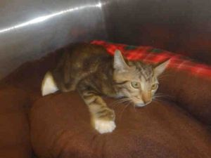 Cat For Adoption Pepper Near Los Angeles Ca Petfinder