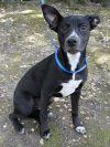 Cattle Dog Dog: Bonnie