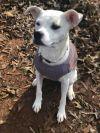Boxer Dog: Mabel