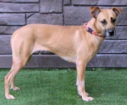 Darla 998, an adoptable Belgian Shepherd / Malinois & German Shepherd Dog Mix in Loxahatchee, FL