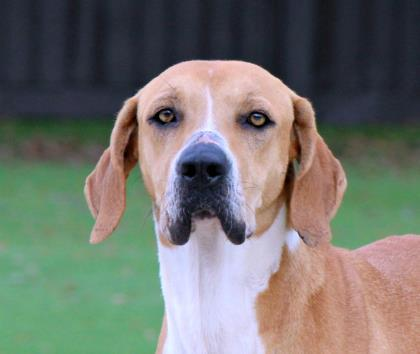 Lou, an adoptable Hound Mix in Loxahatchee, FL