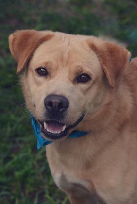 Chandler, an adoptable Golden Retriever Mix in Loxahatchee, FL