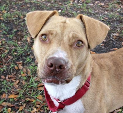 Hazel, an adoptable Terrier Mix in Loxahatchee, FL