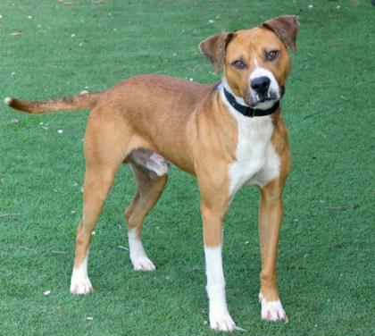 Petey, an adoptable Hound Mix in Loxahatchee, FL