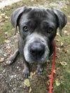 Cane Corso Mastiff Dog: Baloo