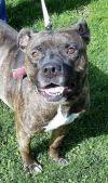 Cane Corso Mastiff Dog: Bella
