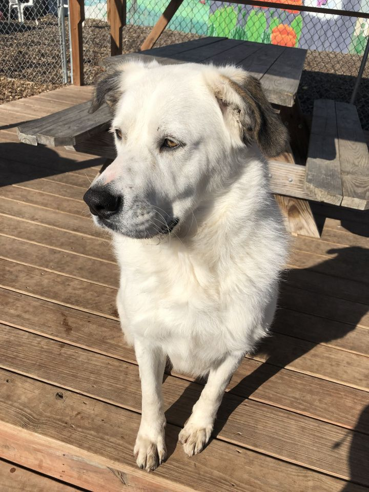 Stella, an adoptable Great Pyrenees Mix in Saint Louis, MO