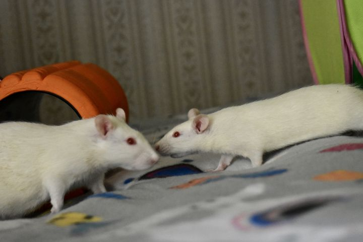 Gamora and Nebula, an adopted Rat in Burlingham, NY