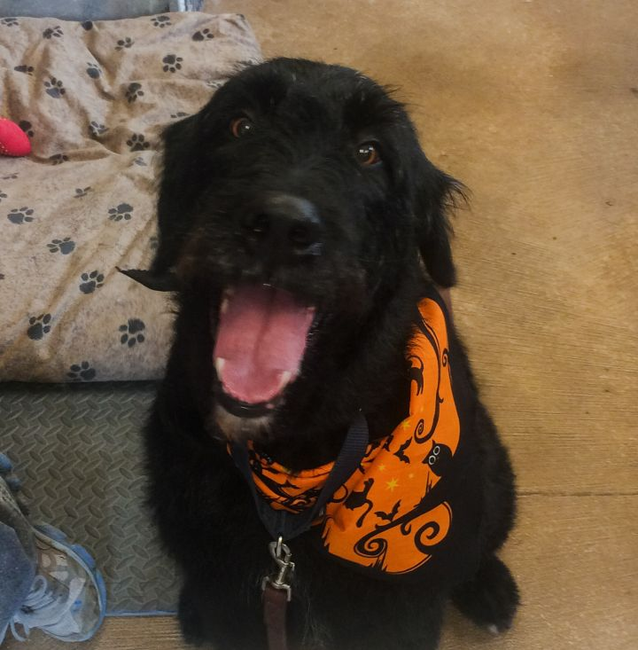 Maggie, an adoptable Newfoundland Dog & Terrier Mix in North Branch, MN