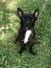 Boston Terrier Dog: Vallen
