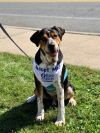 Greater Swiss Mountain Dog Dog: Hayden