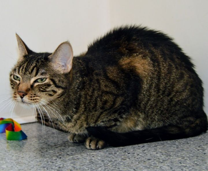 Quincey, an adoptable Domestic Short Hair in Santa Barbara, CA