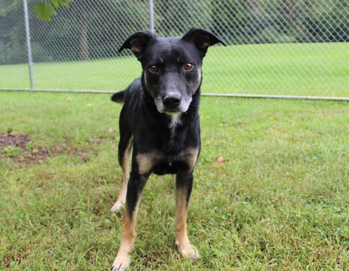 Jericho, an adopted Shepherd Mix in Melbourne, KY