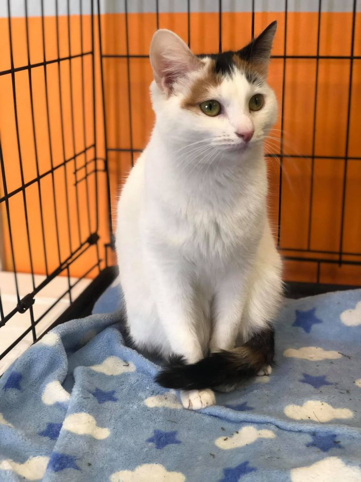 093753f677 Cat for adoption - Annaliese