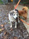 Shetland Sheepdog Sheltie Dog: Fritz