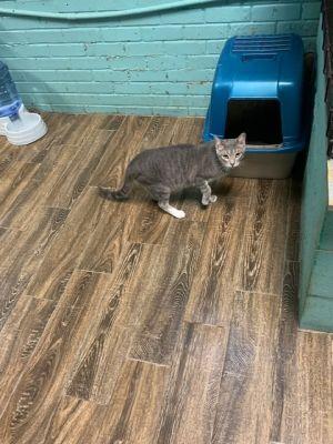 horton Domestic Short Hair Cat