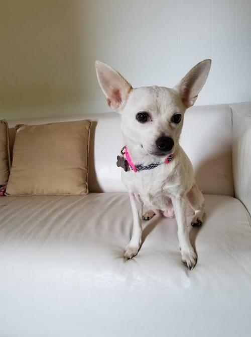 Pearl, an adoptable Chihuahua in Monterey, VA