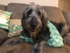 Dog For Adoption Romalda A Poodle Mix In North Wales Pa Petfinder