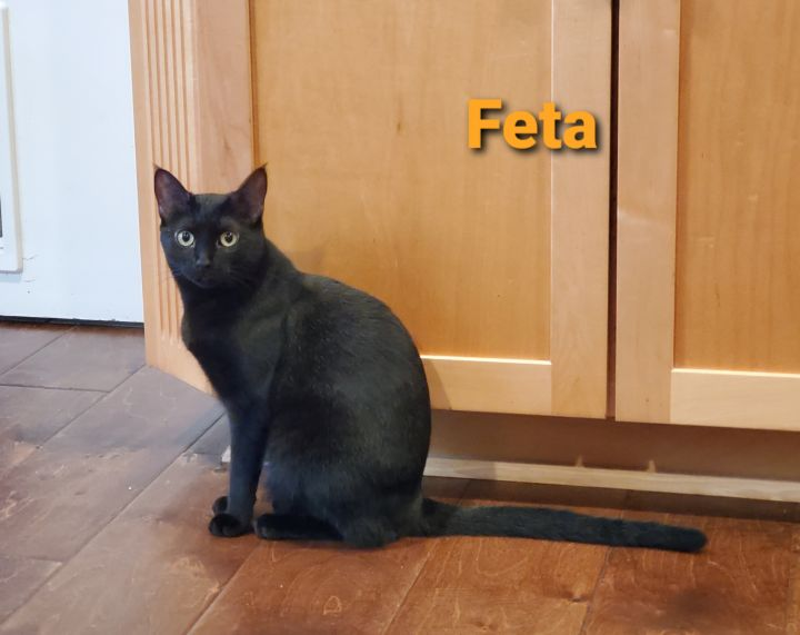 Feta, an adoptable Domestic Short Hair in Anaheim, CA