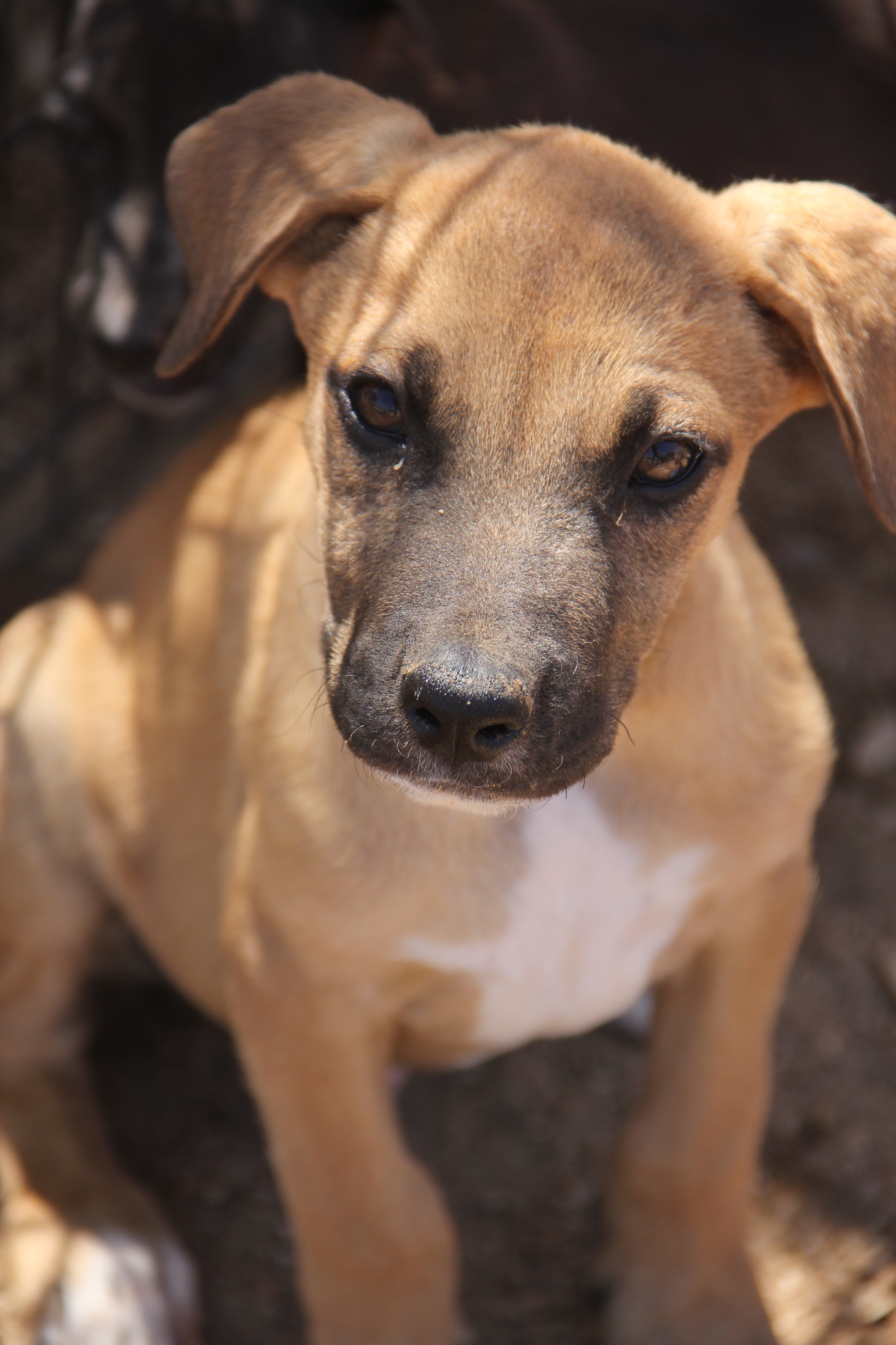 dog for adoption shepherd pointer boxer mix puppies near new