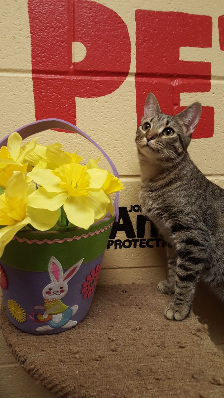 Dru, an adopted Domestic Short Hair in Smithfield, NC