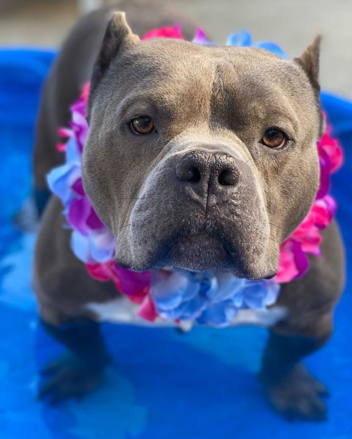 Dog for adoption - Pacino, a Pit Bull Terrier Mix in