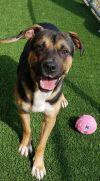 Shepherd Dog: Bogart (formerly Beau in AAS)
