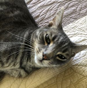 Dusty is a very handsome Abyssinian mix with striking markings of stripes and spots all over of ligh