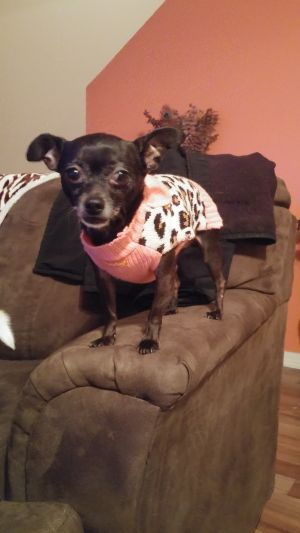Dog for adoption - Mocha, a Chihuahua in Spring Hill, FL
