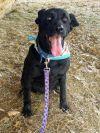 Newfoundland Dog Dog: Rosie