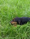Black and Tan Coonhound Dog: Hickory
