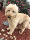 Labrador Retriever Dog: Jackson with Annie