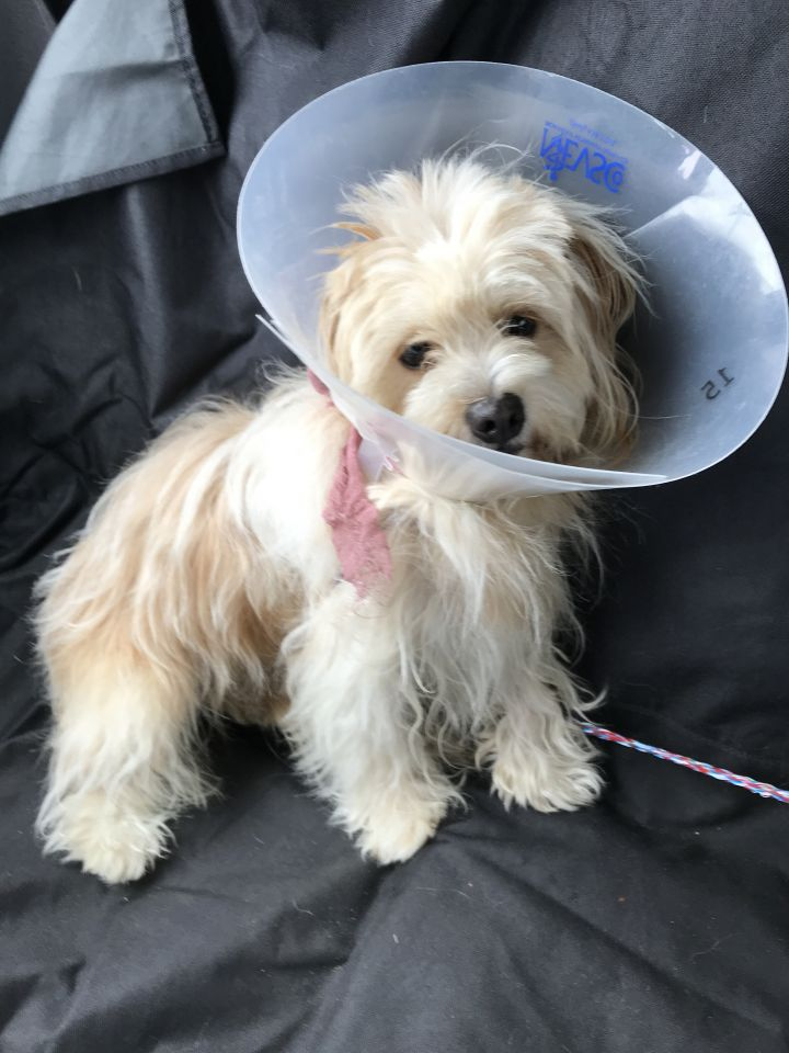 Muppet, an adopted Shih Tzu & Terrier Mix in Natick, MA