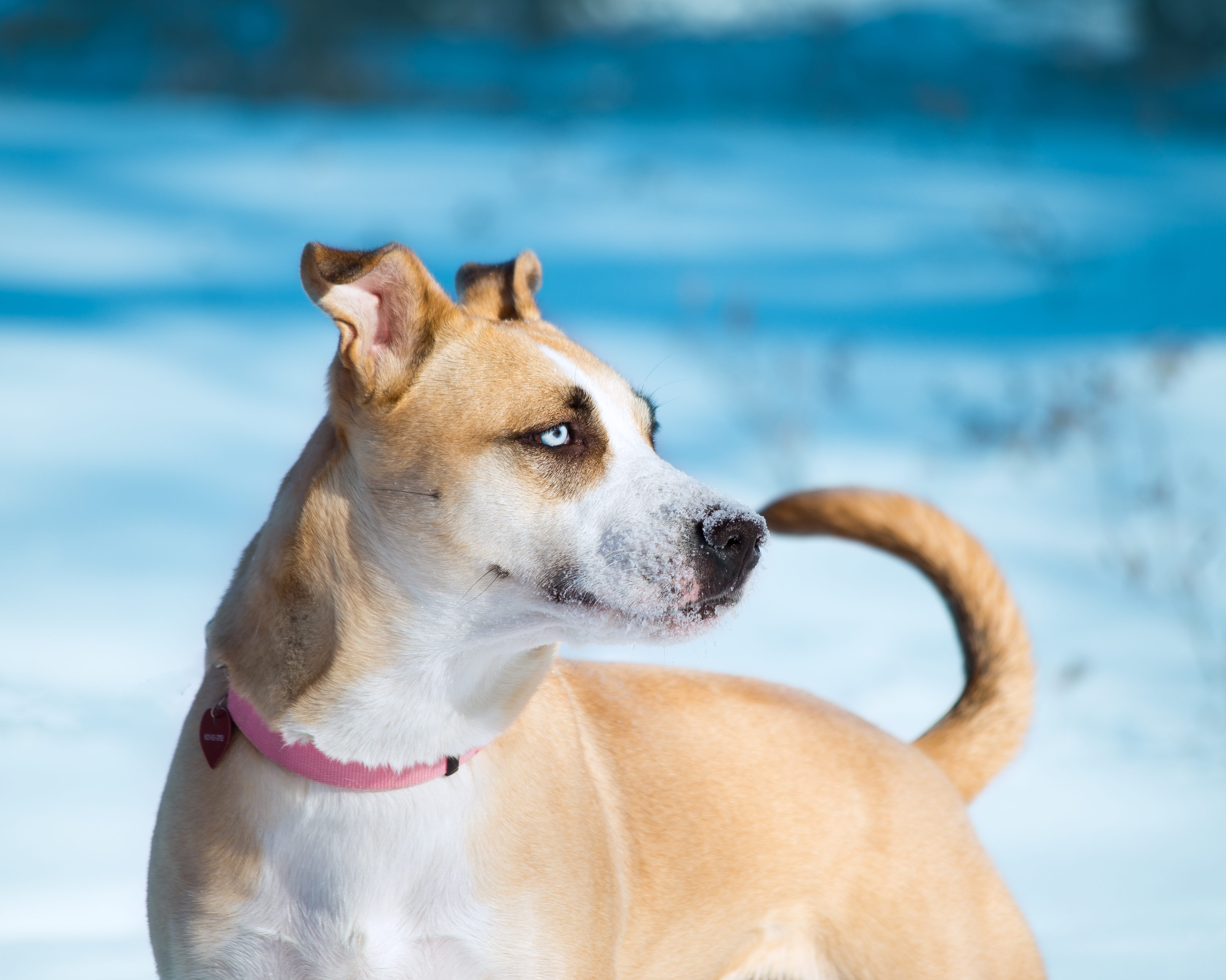 Dog for adoption - Zara, a Pit Bull Terrier Mix in Calgary