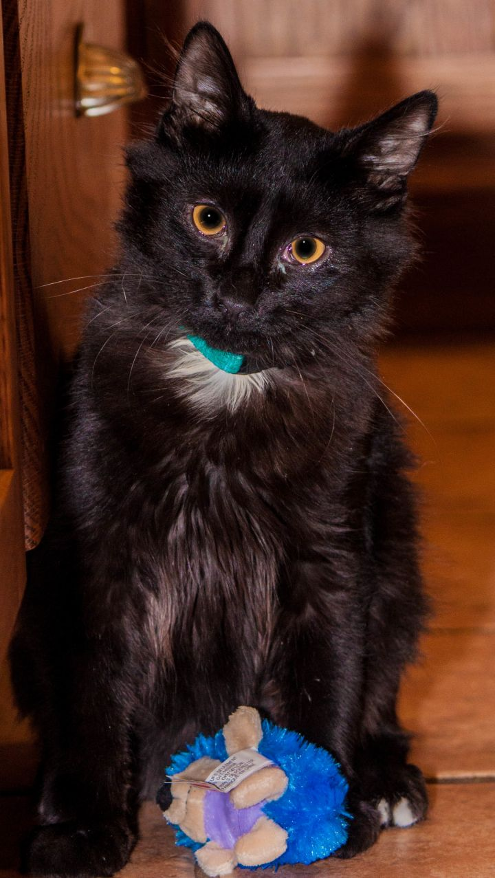 Peter, an adopted Domestic Long Hair Mix in Kansas City, MO