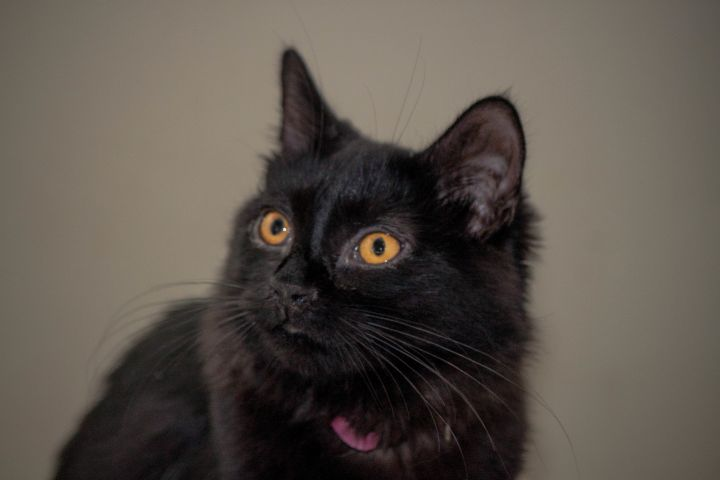 Tink, an adopted Domestic Medium Hair Mix in Kansas City, MO