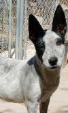 Cattle Dog Dog: Bolt