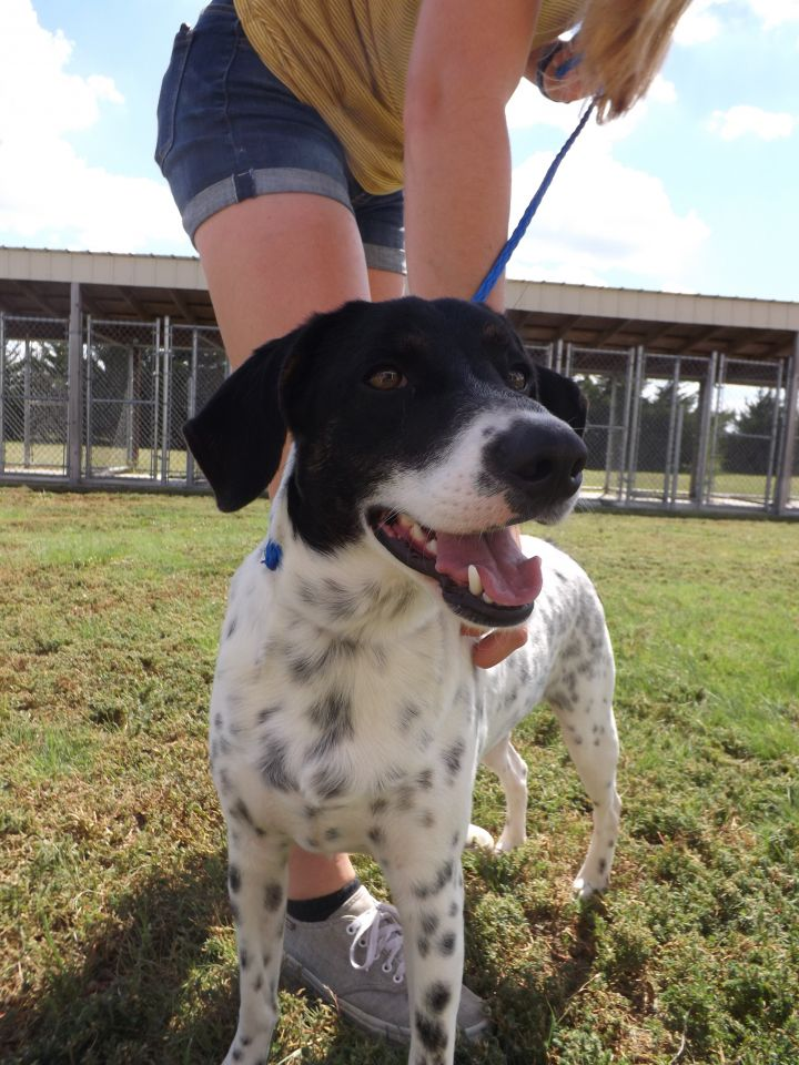 Franky, an adopted German Shorthaired Pointer Mix in Hays, KS