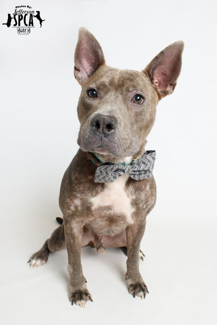 Rocket - updated 11/8, an adopted Terrier & American Staffordshire Terrier Mix in Harahan, LA