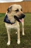 """Anatolian Shepherd Dog: TEXAS, AUSTIN; **NEEDS ADOPT** """"ZEUS"""""""