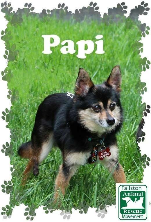 Dog For Adoption Papi Near Fallston Md Petfinder